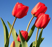 Red Tulips by Gary Horner