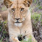 Lioness by J. Day