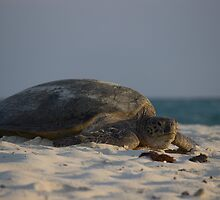 Green Sea Turtle by Mark Fitzpatrick