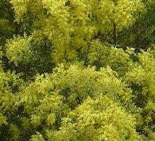 Acacia fimbriata by Pauline Sykes