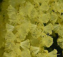 Acacia floribunda by Pauline Sykes