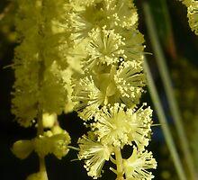 Gossamer Wattle blossom by Pauline Sykes