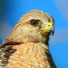 A Red Shouldered hawk by jozi1