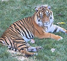 Tiger by NationalZooAust