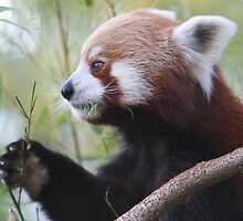 Red Panda by NationalZooAust