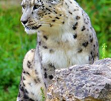 Zürich Zoo, Snow Leopard Villy by Kajia