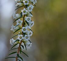 blunt-leaf heath by GrowingWild