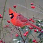 Male Cardinal in Rose Hips by Shonda Hogan