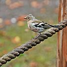 Chaffinch on a rope by Matthias Keysermann