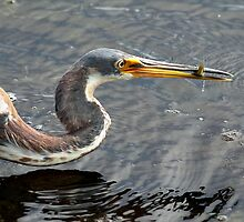 Tricolored Heron with Catch by Carol Bailey White