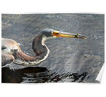 Tricolored Heron with Catch Poster