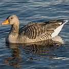 Greylag Goose by M.S. Photography/Art