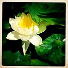 Water Lily by Marita