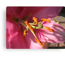 Sunlit Pink Lily in Macro Canvas Print