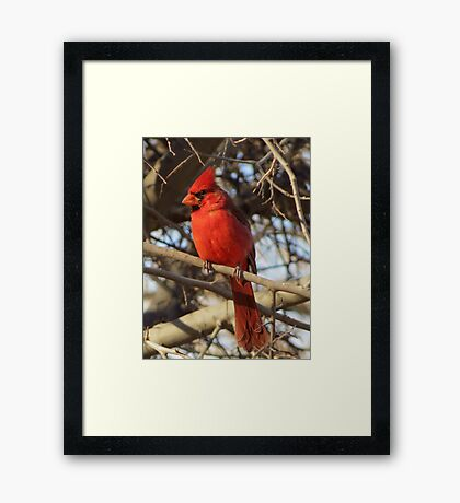 Northern Cardinal (Male) Framed Print