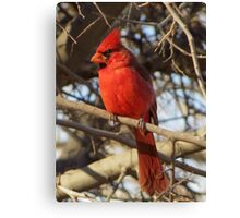Northern Cardinal (Male) Canvas Print