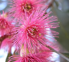 Pink Gum Blossom by Pauline Sykes