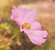 Pink Cosmos III by afeimages