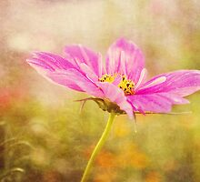 Pink Cosmos by afeimages