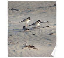 Hooded Plovers (Thinornis rubricollis) - Carrickalinga, South Australia Poster