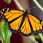 New Zealand Monarch Butterfly by Sunchia Milic