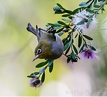 The Silvereye - Number 2 Photographic Print