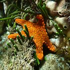 Vermillion Seastar (Pentagonaster duebeni) - North Cape, Kangaroo Island, South Australia by Dan & Emma Monceaux