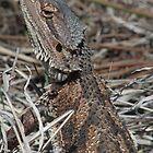 Central Bearded Dragon (Pogona vitticeps) - Point Lowly, South Australia by Dan & Emma Monceaux