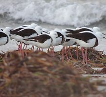 Banded Stilts (Cladorhynchus leucocephalus) - Lucky Bay, South Australia by Dan & Emma Monceaux