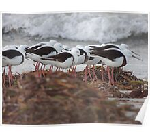 Banded Stilts (Cladorhynchus leucocephalus) - Lucky Bay, South Australia Poster