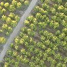 Orchards, Birds Eye View  by Alex Colcheedas