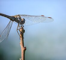 Dragonfly 2 by PhotoShopping