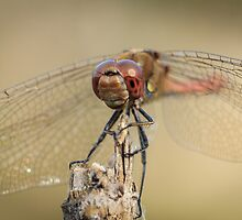 Dragonfly 4 by PhotoShopping