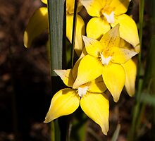 Cowslip Orchids Gathercole Reserve by warriorprincess
