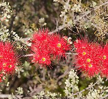 Kunzea Pulchella (Granite) Gathercole Reserve by warriorprincess