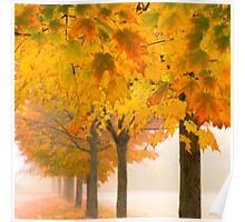 Fogged-In Maples Poster