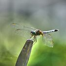 The Wonderful Dragonfly, Macro Nature Photograph by Michele Ford