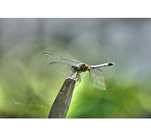 The Wonderful Dragonfly, Macro Nature Photograph Photographic Print