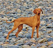 Vizsla xx by Grant  O'Fee