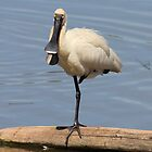Royal Spoonbill by Kym Bradley