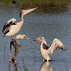 Pelicans and Yellow Spoonbill by Kym Bradley