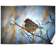 House Finch (Female) Poster