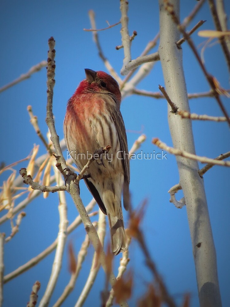 House Finch (Male) by Kimberly Chadwick