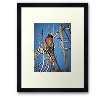 House Finch (Male) Framed Print