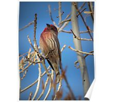 House Finch (Male) Poster