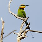 Rainbow Bee-eater by Will Hore-Lacy