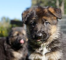puppy German Shepard  by prettypics75