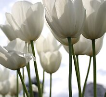 White Tulip by Lisa Klement