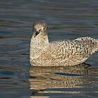 Iceland Gull In Lancashire by Jamie  Green