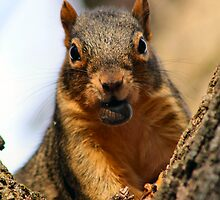 Red Squirrel Observer by Keala